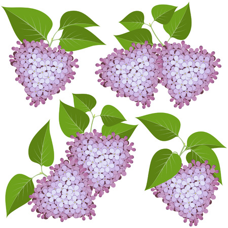 panicle: Hearts of lilac flowers and leaves isolated on white background