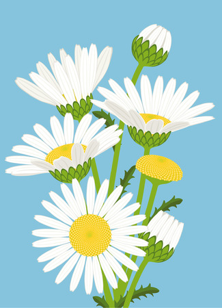 Bouquet of white daisies on azure background Vector