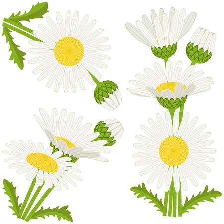 nosegay: Bunches of daisies on white background for spring decoration