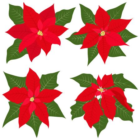 flor de pascua: Flores Poinsettia para decoraciones de Navidad Vectores