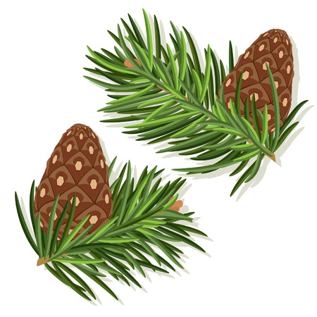 Pine tree branches with  pine cones Vector