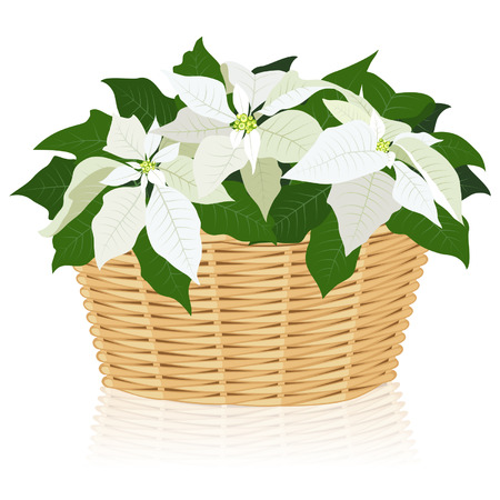 gift basket: White poinsettias in the wicker basket