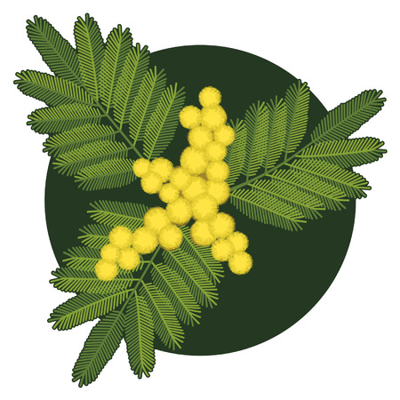 mimosa: Twig of mimosa flower with leaves Illustration