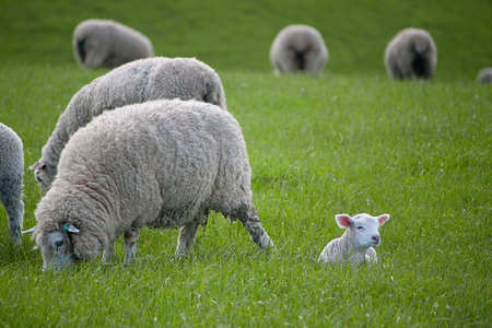 naivety: Lamb resting peacefully Stock Photo