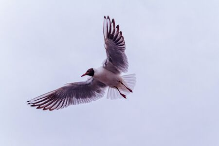 A seagull in flight with spread wings soars in the air.