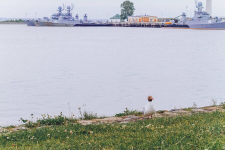 a seagull sits on the shore opposite the ships of the Gulf of Finland in Kronstadt.