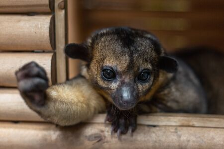 Kinkajou in his house, holds out a paw, clasped in a fist.