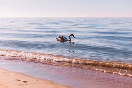 Beautiful white swan swimming on water surface, side view. Elegant wild bird floating alone outdoors in sea. Animal protection care ecology environment. Sea at Sunny day.