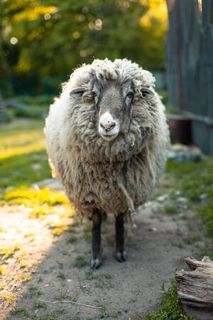 Cute funny sheep at outdoor garden nature field valley