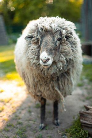 Cute funny sheep at outdoor garden nature field valley Stok Fotoğraf - 140697785