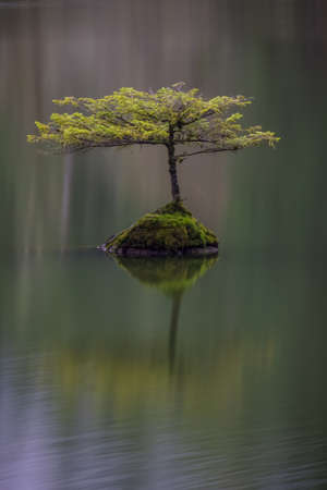 vancouver island: Lonely Tree at Fairy Lake near Port Renfrew, BC, Vancouver Island, Canada. Calm and peaceful scene