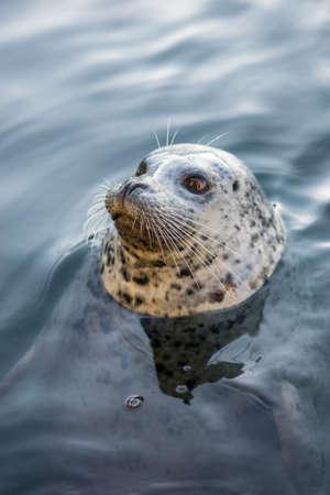 victoria bc: Seal at Fishermans Wharf, Victoria, BC Stock Photo