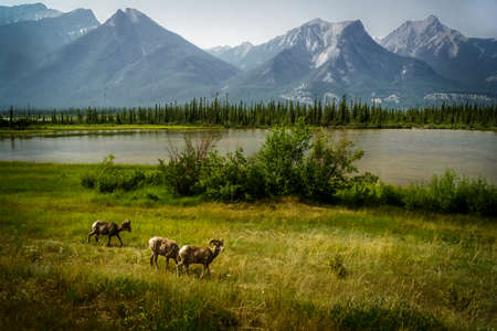 rocky mountain bighorn sheep: Big Horn Sheep along the  Yellowhead Highway between Jasper and HInton, Alberta.