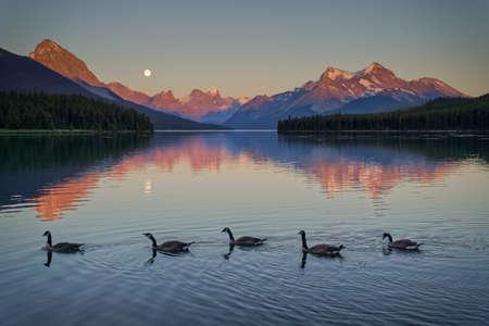 canadian geese: Canadian Geese at Maligne Lake near Jasper, Alberta Stock Photo