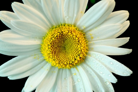 Close up of a white daisy on a black background  Stock Photo - 17045105