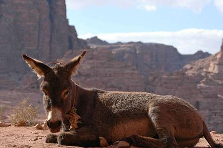 petra  jordan: Donkey in Petra, Jordan