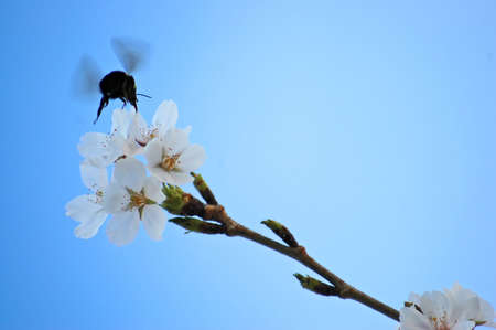 Bee pollinating a cherry blossom