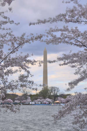 district of columbia: Cherry Blossoms at the Tidal Basin, Washington, DC