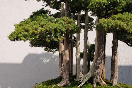 district of columbia: Bonsai Tree at the National Arboretum in Washington, DC Stock Photo