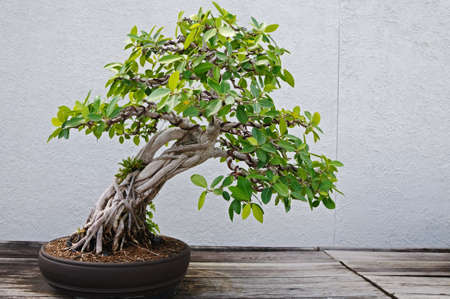 district columbia: Bonsai Tree at the National Arboretum in Washington, DC Stock Photo
