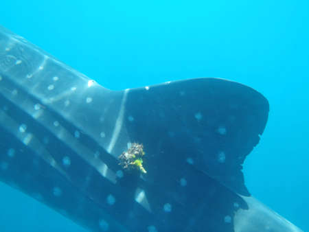 whale shark: Whale Shark Stock Photo