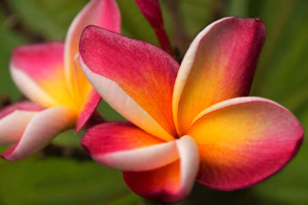 two five petal pink flower frangipani (plumeria) with yellow center on the light green background close up