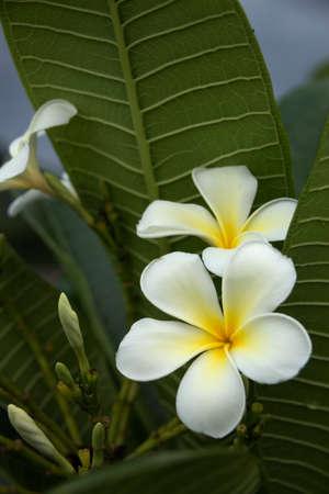 Five petal white flowers frangipani plumeria with yellow center five petal white flowers frangipani plumeria with yellow center on the green leaf background mightylinksfo