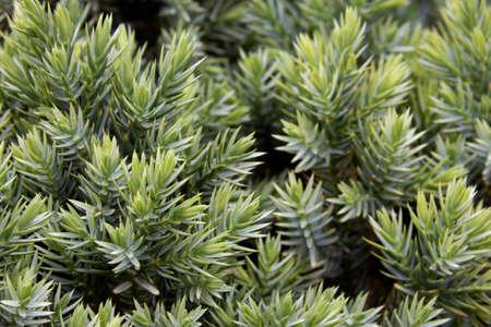 enebro: juniper needles close up selective focus