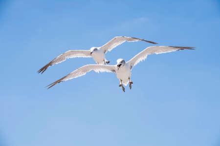 Fliegende Möwen vor dem Hintergrund des blauen Himmels Standard-Bild