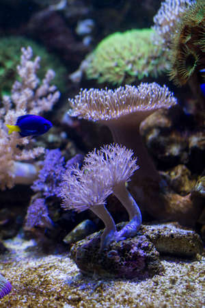 surgeonfish: Scenic reef of the Sea Life aquarium in Munich with colorful plants and a  surgeonfish
