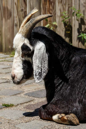 pygmy goat: Pygmy goat in the Munich zoo (Tierpark Hellabrunn)