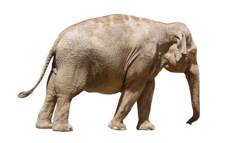 Geïsoleerde Aziatische olifant