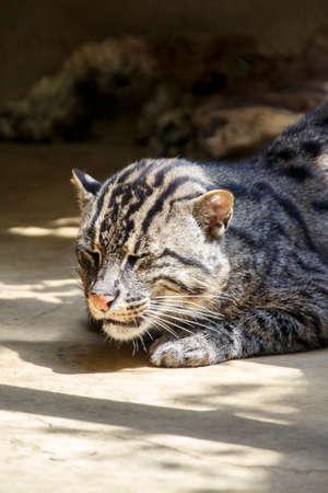 prionailurus: Fishing cat in the Munich zoo (Tierpark Hellabrunn)