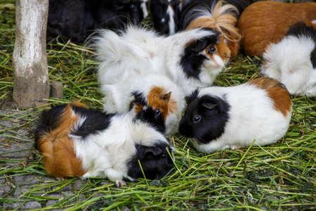 cavie: Guinea pigs in the Munich zoo (Tierpark Hellabrunn)