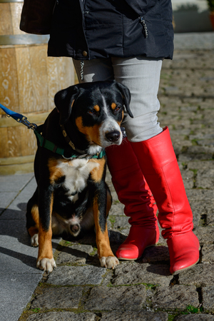 Entlebucher Dogs are breed to herde cows an protect farms