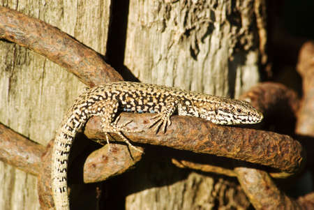 camoflauge: A macro shot of a lizard basking in the sun on an old chain