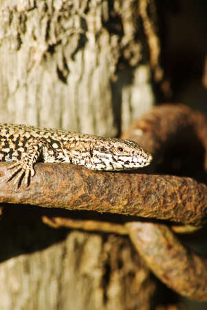 basking: A macro shot of a lizard basking in the sun on an old chain