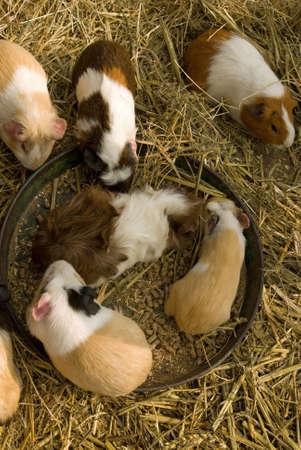 cavie: Guinea suini folla attorno al loro alimentazione ciotola Archivio Fotografico