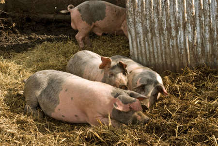 sty: A  of pigs play in their sty