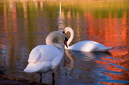 int: swans int lake Stock Photo