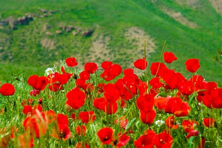 red poppies on a background of mountains photo