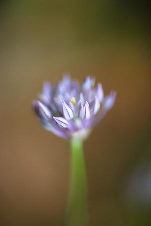 blue makro flower photo