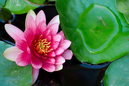 details of water lily photo