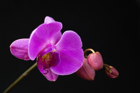 Purple orchid isolated on black photo