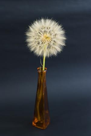 beautiful dandelion on the black background photo