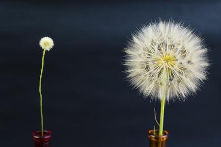 smol end large dandelions on the black background photo