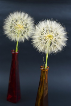 beautiful dandelions on the black background photo