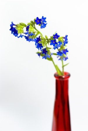 blue wildflowers in red vase on the white background