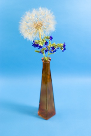 dandelion end blue wildflower on the blue background