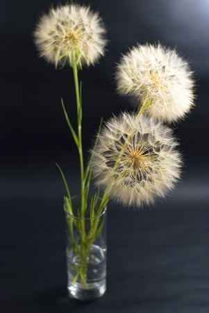 beautiful dandelions on the black background photo